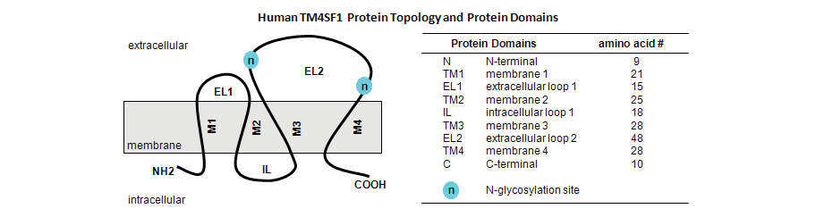 Human TM4SF1 Protein Topology and Protein Domains